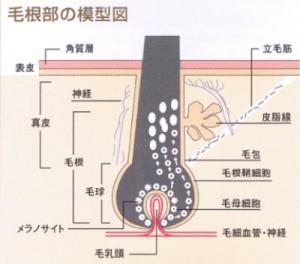毛根部の模型図