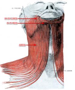 広頸筋とオトガイ筋